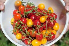 Tomates de cereja orgânicos frescos Foto de Stock Royalty Free