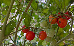Tomates de cereja que amadurecem na videira Fotos de Stock Royalty Free