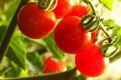 Tomates de cereza Fotografía de archivo