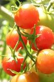 Tomates de cereza Imágenes de archivo libres de regalías