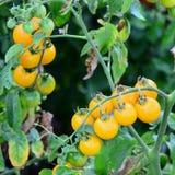Tomates de cereza amarillos que crecen en condiciones naturales Puntillas con los tomates de cereza Crecimiento maduro amarillo d foto de archivo libre de regalías