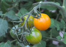 Tomates de cereza anaranjados Foto de archivo