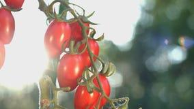 Tomates de cereza crecientes en la luz del sol almacen de metraje de vídeo