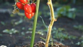 Tomates de cereza crecientes en la luz del sol 2 tiros almacen de metraje de vídeo
