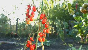 Tomates de cereza crecientes en la luz del sol 2 tiros almacen de video