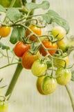 Tomates de cereza de cosecha propia en jardín Fotos de archivo libres de regalías