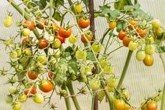 Tomates de cereza de cosecha propia en jardín Imagenes de archivo