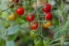 Tomates de cereza de la rama foto de archivo libre de regalías