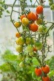 Tomates de cereza de las variedades del tomate Foto de archivo libre de regalías