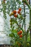 Tomates de cereza de las variedades del tomate Fotos de archivo libres de regalías