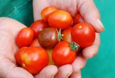 Tomates de cereza ecológicos en manos Fotos de archivo
