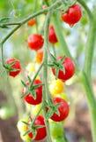 Tomates de cereza en la ramita Foto de archivo