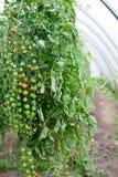 Tomates de cereza en la vid Fotografía de archivo libre de regalías