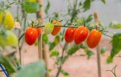 Tomates de cereza en tiempo de verano imagen de archivo libre de regalías