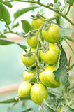 Tomates de cereza orgánicos en la vid Foto de archivo