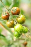 Tomates de cereza orgánicos en la vid Fotografía de archivo libre de regalías