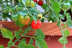 Tomates de cereza orgánicos en la vid Fotografía de archivo