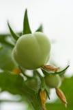 Tomates de cereza que maduran Fotografía de archivo libre de regalías