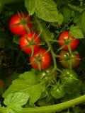 Tomates de cereza que maduran el racimo Imagenes de archivo
