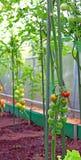 Tomates de cereza que maduran en el arbusto Fotografía de archivo libre de regalías