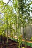 Tomates de cereza que maduran en el arbusto Imágenes de archivo libres de regalías