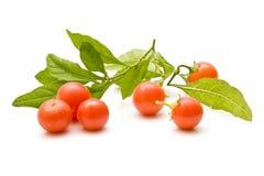 Tomates de cereza, recién cosechados Fotografía de archivo libre de regalías