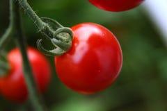 Tomates de cereza rojos maduros Fotografía de archivo