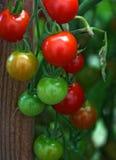 Tomates de cereza rojos maduros Imágenes de archivo libres de regalías