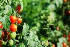 Tomates de cereza rojos naturales en una rama en el jardín fotos de archivo