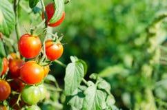 Tomates de cereza rojos naturales en una rama en el jardín fotografía de archivo