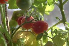 Tomates de cereza rojos y verdes primer, macro imagen de archivo