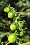 Tomates de cereza verdes Imagen de archivo