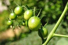 Tomates de cereza verdes Foto de archivo