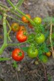 Tomates de cereza verdosos - tomates de una cereza inmaduros del manojo en un gre Imágenes de archivo libres de regalías