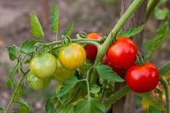 Tomates de cereza verdosos - tomates de una cereza inmaduros del manojo en un gre Fotografía de archivo
