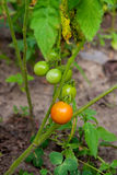 Tomates de cereza verdosos - tomates de una cereza inmaduros del manojo en un gre Fotos de archivo libres de regalías