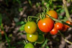 Tomates de cereza verdosos - tomates de una cereza inmaduros del manojo en un gre Imagen de archivo libre de regalías
