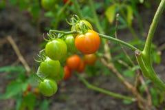 Tomates de cereza verdosos - tomates de una cereza inmaduros del manojo en un gre Imagenes de archivo