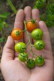 Tomates de cereza verdosos - tomates de una cereza inmaduros del manojo a mano Imagen de archivo libre de regalías
