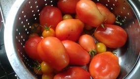 Tomates de ciruelo escogidos frescos Imagen de archivo