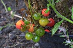 Tomates de cocktail avec des baisses de rosée Photo stock