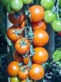 Tomates de Coctail Foto de archivo libre de regalías