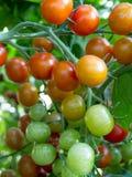 Tomates de Coctail Fotos de archivo