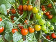 Tomates de Coctail Imagenes de archivo