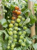 Tomates de Coctail Fotografía de archivo libre de regalías