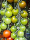 Tomates de Coctail Foto de archivo