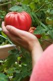 Tomates de cueillette Photographie stock libre de droits