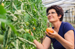 Tomates de cueillette de femme de jardin Photos libres de droits
