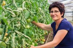 Tomates de cueillette de femme de jardin Images libres de droits