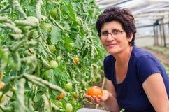Tomates de cueillette de femme de jardin Image stock